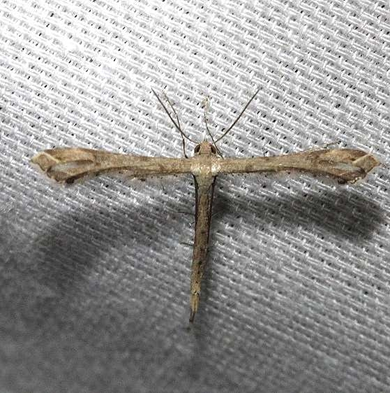 6122 Stenoptilodes brevipennis Kissimmee Prairie St Pk 3-16-13