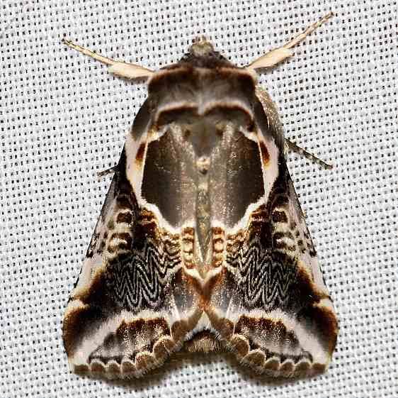 6235 Lettered Habrosyne Moth Thunder Lake UP Mich 6-26-12