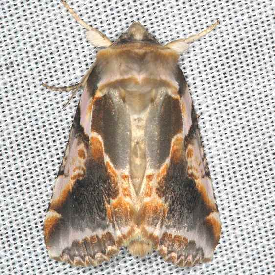 6236 Glorious Habrosyne Moth Battelle Darby Biggert Rd 8-19-16