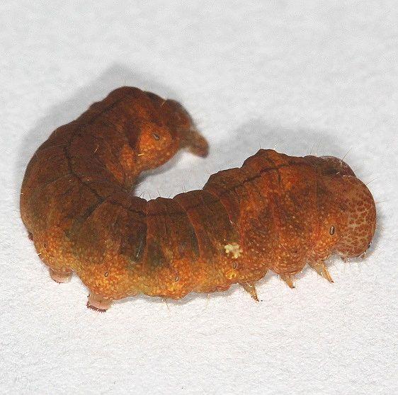 6237 Tufted Thyatirid Moth yard BG 10-14-17 (2)_opt