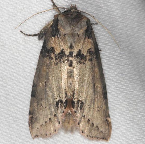 6237 Tufted Thyratirid Moth yard 7-30-13 (
