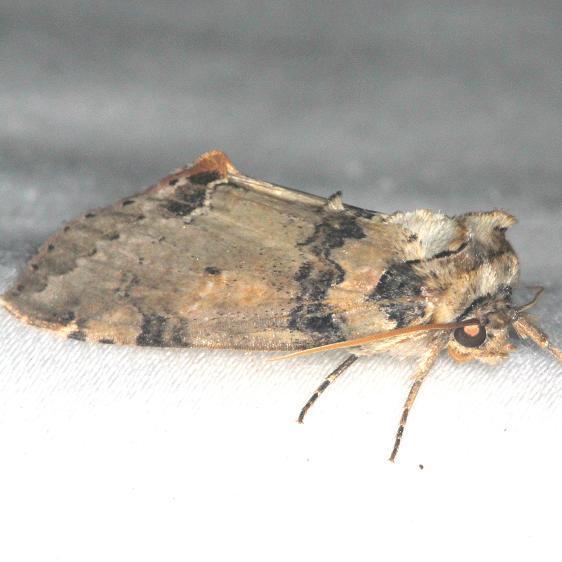 6237 Tufted Thyratirid Moth yard 7-30-13