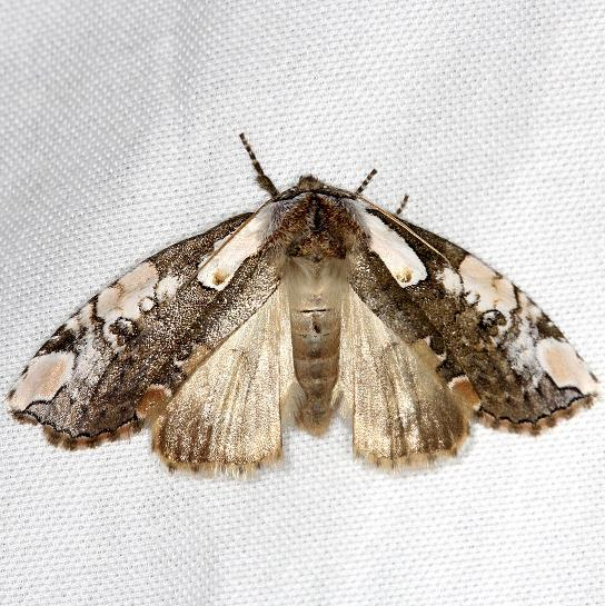 6240 Dogwood Thyatirid Moth Carter Cave St Pk Ky 4-23-13