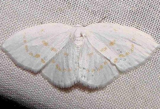 6254 Florida Eudeilinia Moth Juniper Springs Ocala Natl FL 3-13-12