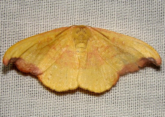 6255 Rose Hooktip Moth Jenny Wiley 4-26-12 (67a)