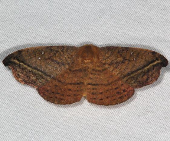 6255 Rose Hooktip Moth yard 6-6-15