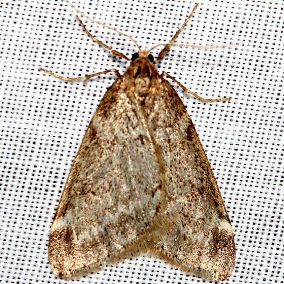 6258 Fall Cankerworm Moth Little Talbot Island St Pk Fl 2-20-13