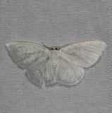 6270 Virgin Moth Burr Oak St Pk at cabins Oh 6-27-14