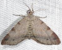 6271.1 Orange Wing Moth yard 5-30-13 (23a)