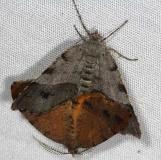 6271.1 Orangewing Moth male and female yard 6-15-14