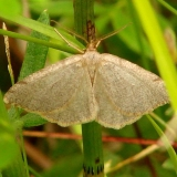 6278 Drab Angle Moth Shingleton Bog UP Mich 6-23-12