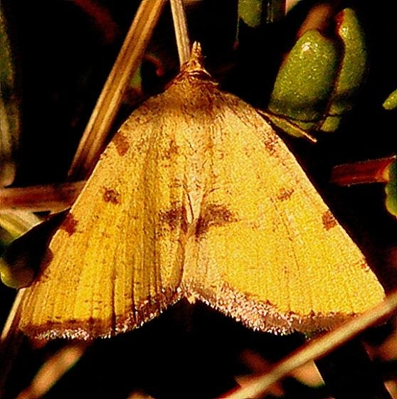 6283 Sulphur Angle Moth Remington Bog UP Mich 6-25-12