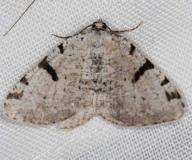6303 Barred Granite Moth Lake of the Woods Ontario 7-18-16a_opt_opt