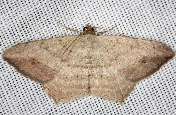 6328.1 Psamatodes atrimacularia NABA Gardens Mission Texas 11-3-13