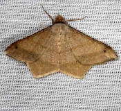 6332 Dot-lined Angle Moth NABA Gardens Mission, Texas 11-4-13