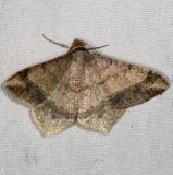 6332 Dot-lined Angle Moth yard 9-5-15