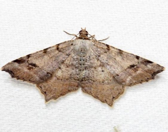 6335 Woody Angle Moth Alexander Springs Ocala Natl Foresta 3-18-13 (68)