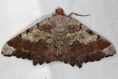 6336 Southern Chocolate Angle Moth Faver-Dykes St Pk Fl 2-22-15