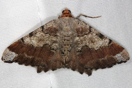 6336 Southern Chocolate Angle Moth Faver-Dykes St Pk Fl 2-22-15