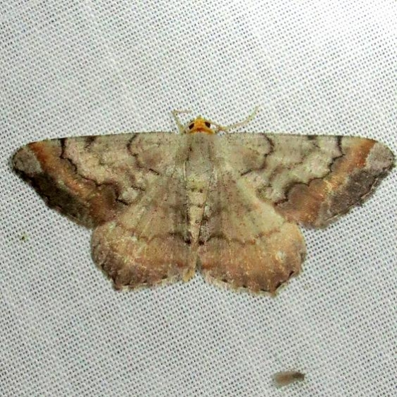 6336 Southern Chocolate Moth Ochlockonee River St Pk 3-29-13