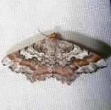 6337 Macaria sanfordi Grasshopper Lake Ocala Natl 3-15-12