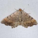 6339 Blurry Chocolate Angle Moth yard 7-4-14
