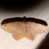 6341 Bicolored Angle Moth Gold Head Branch St Pk Fl 2-15-12