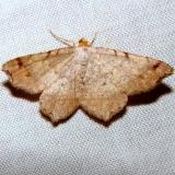 6342 Macaria bisignata Paines Prairie St Pk 3-31-11
