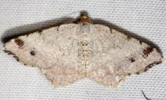 6342 Red-headed Inchworm Moth yard 8-17-12_opt