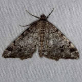 6343 Six-spotted Angle Moth Thunder Lake UP Mich 6-20-14