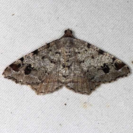 6347 White Pine Angle Moth yard 9-6-14