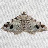 6348 Hemlock Angle Moth Obed River shed Tenn 8-26-12
