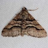 6362 Curve-lined Angle Moth Tosohatchee WMA Fl 2-11-14