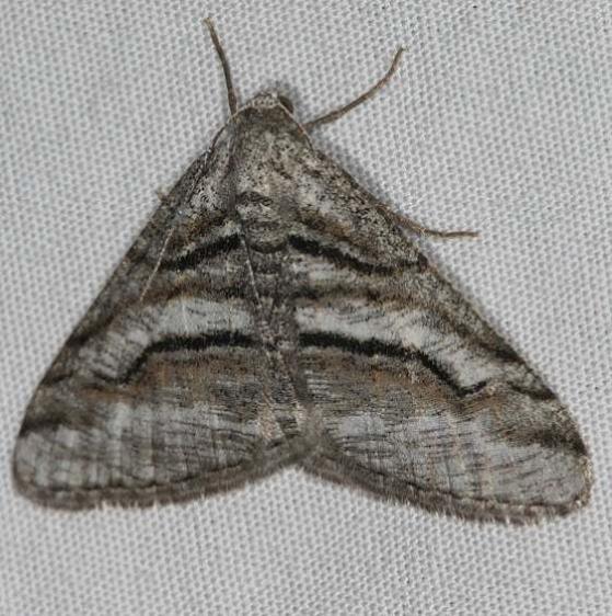 6363.1 Digrammia pallorata Mesa Verde National Park Colorado 6-9-17
