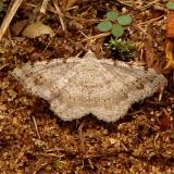 6386 Faint-spotted Angle Moth Sandy Pt cemetery Oh 7-28-12