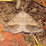 6396 Dark-bordered Granite Moth Anita's yard Calf 8-28-11
