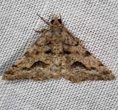 6414 Signate Looper Moth NABA Gardens Texas 11-3-13