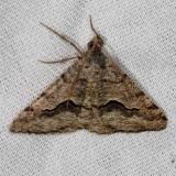 6415 Mesquite Looper Moth NABA Gardens Mission, Texas 11-4-13