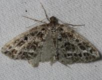 6430 Yellow-veined Geometer Moth Thunder Lake Mich UP 6-22-13