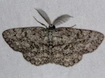 6439 Umber Moth Burr Oak St Pk at cabins Oh 6-27-14
