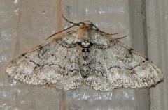 6440-Hypomecis-gnopharia-Faver-Dykes-St-Pk-3-2-11