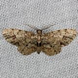 6443 Texas Gray Moth Lake Kissimmee St Pk Fl 2-28-13