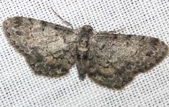 6443 Texas Gray Moth yard 8-16-12_opt