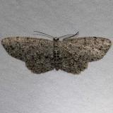 6449 Dotted Gray Moth Osceola Natl Frt Ocean Pond Fl 3-24-15