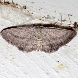6450 Blueberry Gray Moth Kissimmee Prairie St Pk 3-11-13_opt
