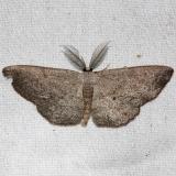 6450 Blueberry Gray closest Grasshopper Lake Ocala Natl Forest 3-21-13