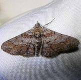 6452 Dainty Gray Moth Grasshopper Lake Ocala Natl Frt FL 3-15-12