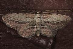 6452 Glena plumosaria Silver Lake Cypress Glenn Fl 3-18-15
