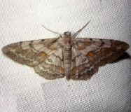 6463 Stenoporpia pulmonaria Kissimmee Lake St Pk FL 2-23-12