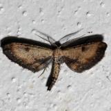 6486 Dimorphic GrayMoth Kissimmee Prairie St Pk 3-12-13
